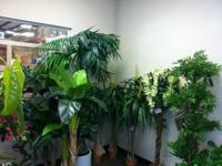 Thousands of silk trees and plants at liquidation