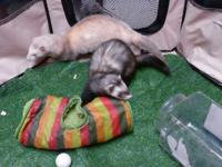 Two male ferrets need loving home.  Friendly,playful,