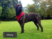 Brazilian Bandogge Mastiff male pup available. Last of