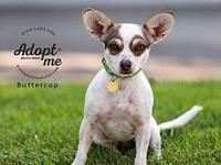 Bandytt's story Bandytt is a young chihuahua, who like