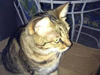 Female fixed Bangle/Manx cat. She is approx 4-5 years