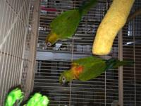 Bangles & Trooper are a bonded pair of Hybrid Conures.
