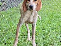 BANJO's story Sweet Banjo is a 2 year old Coonhound