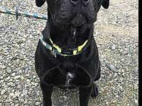 My story Friendly BANJO ACR16982 is a male, black Lab