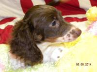 BANNON is a male longhair chocolate & & tan piebald
