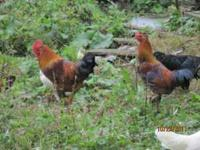 Banty roosters for sale. 6-8 available. Please call .