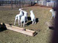 i have for sale 15 barbedo ewes and 18 white dorper