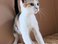 Barbie's story Barbie, DSH dilute calico, spayed