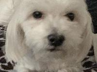 Bardot's story Bardot is a purebred Maltese female and