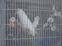 I have a breeding pair of Bare Eyed cockatoos. They
