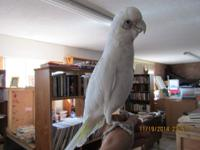 "Bare Eyed Cockatoo, ""Boomer"" 4 year year old, unsexed I"