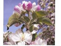We specialize in HIGH QUALITY bare root fruit trees