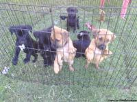 Beautiful loving can be registered 3 rare solid black