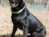 Barkley is a beautiful black 6-year-old lab thru and