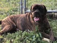 Barkley is a mastiff boxer mix female that is spayed,
