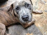 My story This handsome blue brindle pooch is a