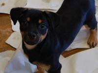 Barnabus is a Min Pin mix who was born in January 2018.
