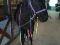 Rebels Black Moon. Black registered quarter horse
