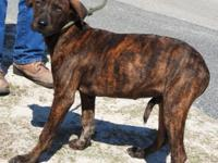 Barry is a medium sized male Cur, brindle and white in