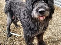 Bart's story Meet Bart! He's a five year old Bouvier