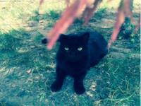Bart is an all black Domestic Short Hair Male, 12 years
