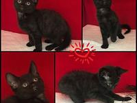 Bart's story Bart is a stunning black kitten with a