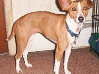 Basenji - Asta ~ Adopted - Small - Adult - Female -