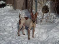 Basenji - Bailey - Small - Young - Male - Dog Bailey is