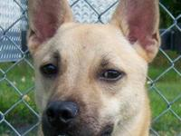 Basenji - Diesel Id - 24079 - Medium - Young - Male -