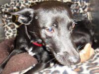 Basenji - Dixie - Medium - Adult - Female - Dog My name