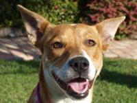 Basenji - Winslet - Medium - Young - Female - Dog