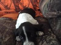adorable female basset/beagle mix. first shots &