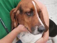 Basset Hound - 22868 - Medium - Adult - Female - Dog