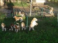 Basset Hound - 31043 Chevy - Medium - Young - Female -