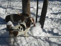 BASSET HOUND, Female, AKC bloodline, 2 years old, she