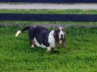 We have actually bred AKC Registered bassets for