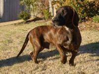 Basset Hound - Annie - Medium - Young - Female - Dog