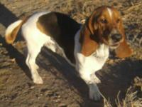 Basset Hound - Bo - Medium - Senior - Male - Dog Bo is