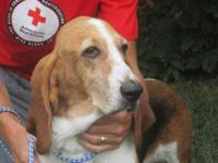 Basset Hound - Daisy Mae - Medium - Senior - Female -