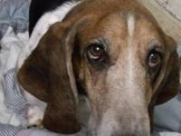 Basset Hound - Daisy - Medium - Senior - Female - Dog