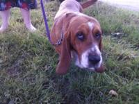 Basset Hound - Dean - Medium - Adult - Male - Dog Meet