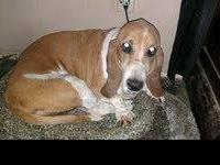 Basset Hound - Dudley - Large - Adult - Male - Dog Hi