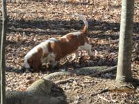 Basset Hound, purebred, Red and White, $150.00, Female,