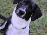 Basset Hound - Fran - Medium - Young - Female - Dog The