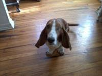 Basset Hound - Ginger - Medium - Adult - Female - Dog