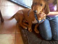 Basset Hound - Henry - Medium - Young - Male - Dog
