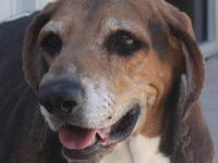 Basset Hound - Herman - Medium - Adult - Male - Dog
