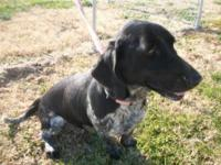 Basset Hound - Izzy - Medium - Baby - Female - Dog Izzy
