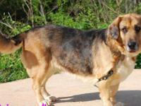 Basset Hound - Jasmine - Medium - Adult - Female - Dog