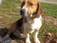 Basset Hound - Maggie Mae - Medium - Senior - Female -